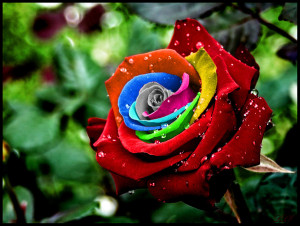 spectacular-rainbow-rose